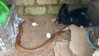 Cobra dies because eating too many chicken eggs