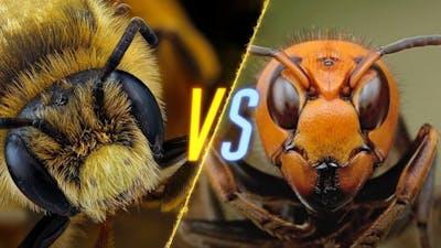 Murder Hornets VS Bees