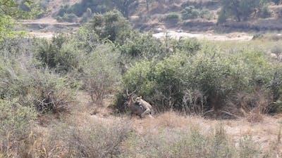 LIONESS skilfully hunts large WATERBUCK